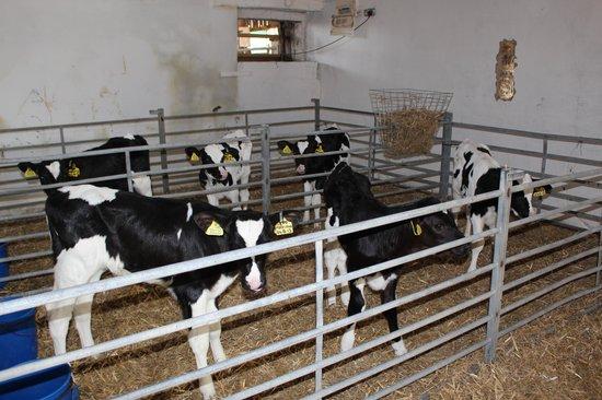 Church House Farm: calves at the farm