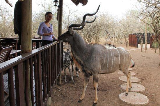 Needles Lodge: Beautiful kudus come for breakfast