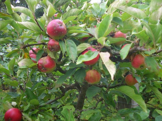 St Andrews Botanic Garden: Apple tree