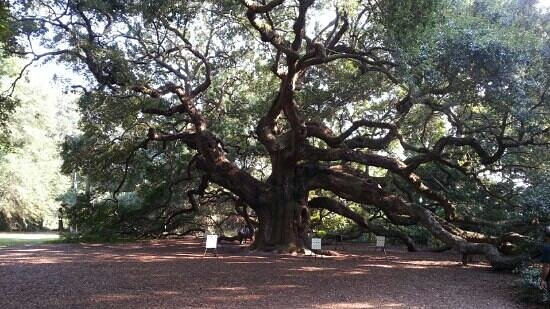 Rental Cars Greenville Sc >> Beautiful 1, 500 year old tree - Picture of Angel Oak Tree ...
