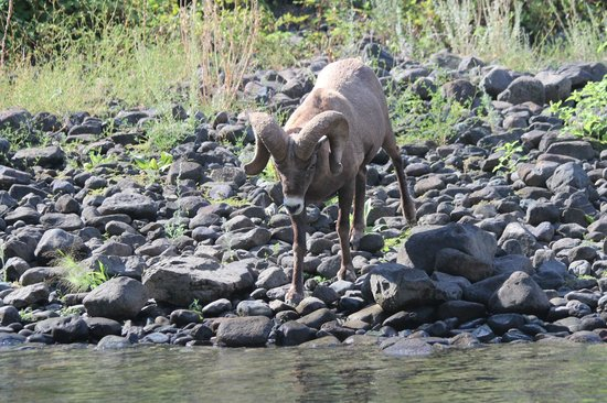 Hells Canyon Jet Boat Trips & Lodging: thirsty big horn