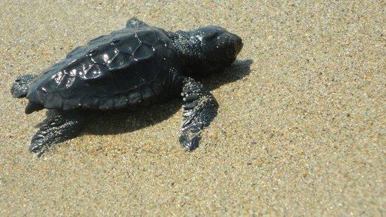 Denny's Inn Hotel: Baby turtle on the beach :)