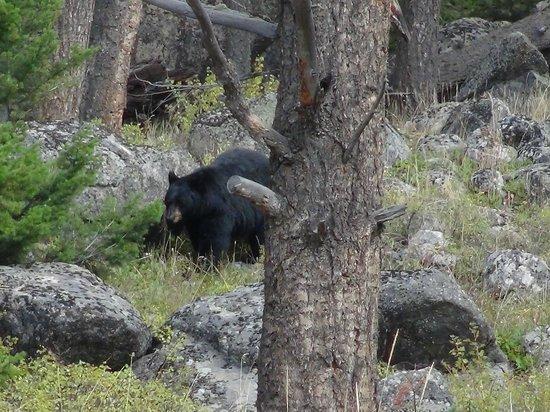Wildlife Expeditions of Teton Science Schools: Black Bear