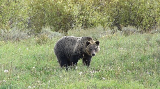 Wildlife Expeditions of Teton Science Schools: Young Grizzly