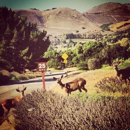 Carmel Valley Ranch: Deer
