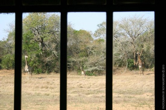 andBeyond Phinda Vlei Lodge: 3 Giraffes through the window