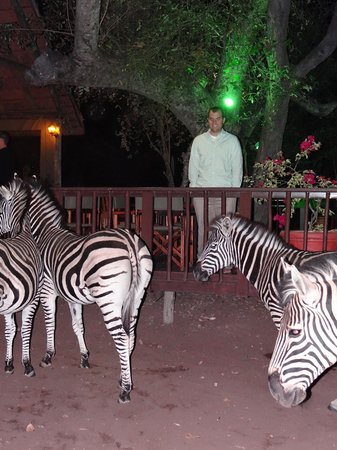 Needles Lodge : zebra came to visit right after dinner one night
