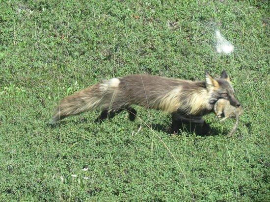 Alaskan Tour Guides Day Tours: arctic fox at Denali National Park