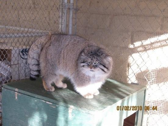 Pallas cat picture of the cat house rosamond tripadvisor the cat house pallas cat publicscrutiny Images