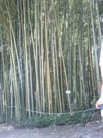 Bosco Di Bamb.Bosco Di Bambu Picture Of Giardino Di Ninfa Cisterna Di