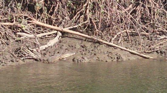 Lady Douglas River Cruise: Croc sunbaking
