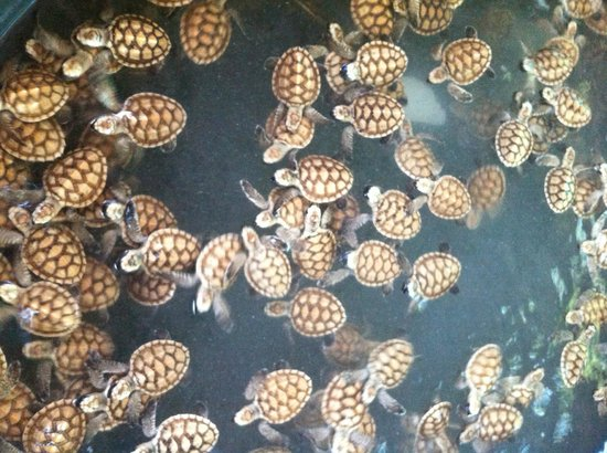 Koh Talu Island Resort: baby turtles nursery