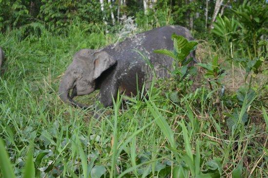 Kinabatangan Jungle Camp: Pygmy Elephant on the side of Kinabatangan River