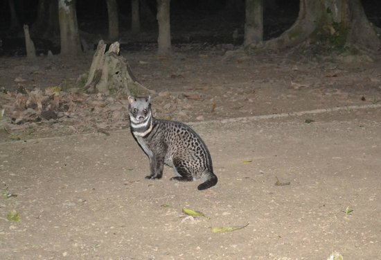 Kinabatangan Jungle Camp: Civet Cat in the camp