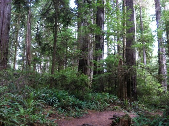 Jedediah Smith Redwoods State Park : big trees