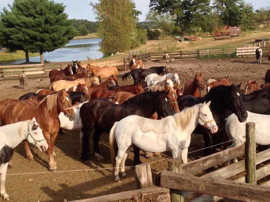 Woodside Ranch Resort: Horses waiting to go pasture