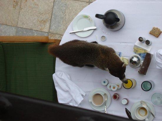 Four Seasons Resort Costa Rica at Peninsula Papagayo: Pizote (local raccoon).  Do not feed them.  Just enjoy watching the wildlife.