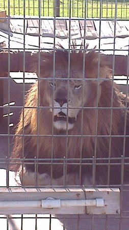 Turpentine Creek Overnight Lodging: Thor the lion at Turpentine Creej