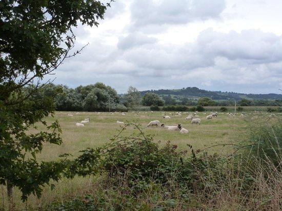The River Avon Trail: Sheep!
