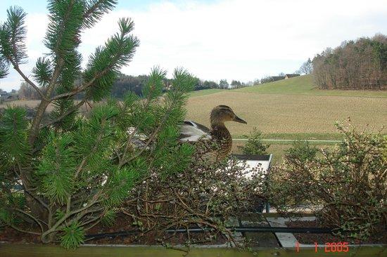 Das Sonnreich Thermenhotel Loipersdorf : утка прилетает на балкон