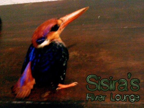 Sisira's River Lounge: BLACK BACKED KINGFISHER