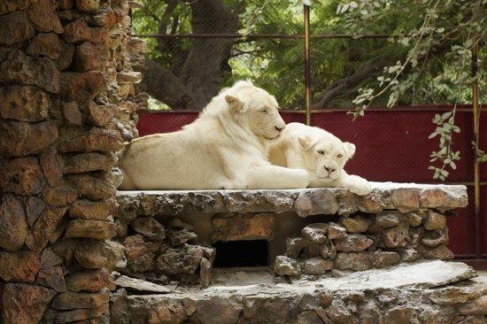 Amazing Karachi Zoo: White Lion