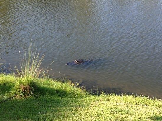Bluewater Resort and Marina: gator at the resort everyday