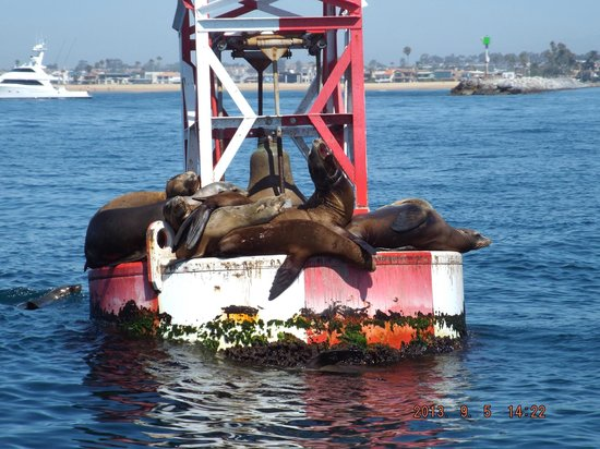 Newport Beach Harbour Cruise Sea Lions Foto Anaheim Tour