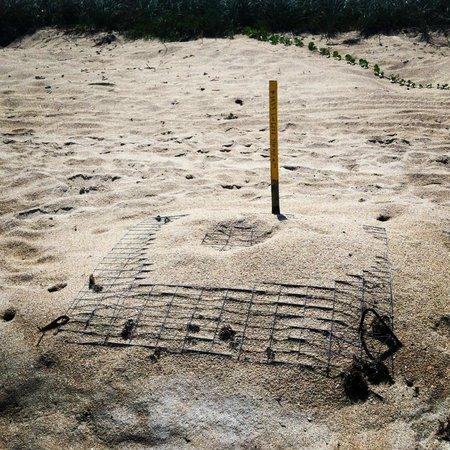 Turtle Mound National Historic Site: Sea Turtle egg Mound