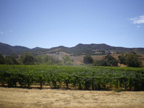 Sanford Winery & Vineyards: Sanford vines