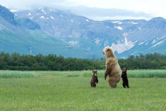 Alaska Bear Adventures: Momma and cubs