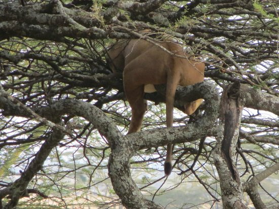 Serengeti Sopa Lodge: Tree climbing lion
