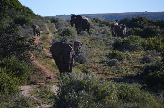 HillsNek Safaris, Amakhala Game Reserve: Ellies on the road
