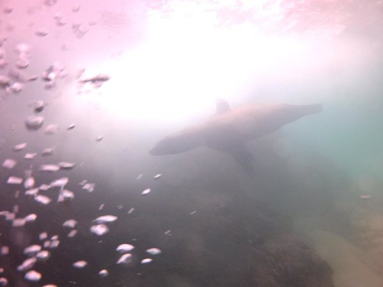 Aqua Activities Los Cabos: Sea Lion Under Water - Cabo Eagle Divers