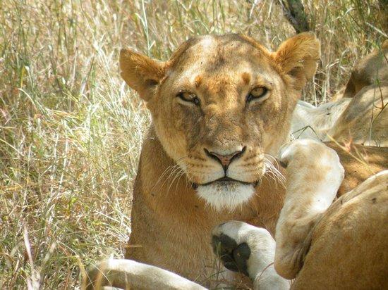Porini Rhino Camp : Lion