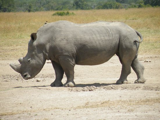 Porini Rhino Camp : Rhino - White