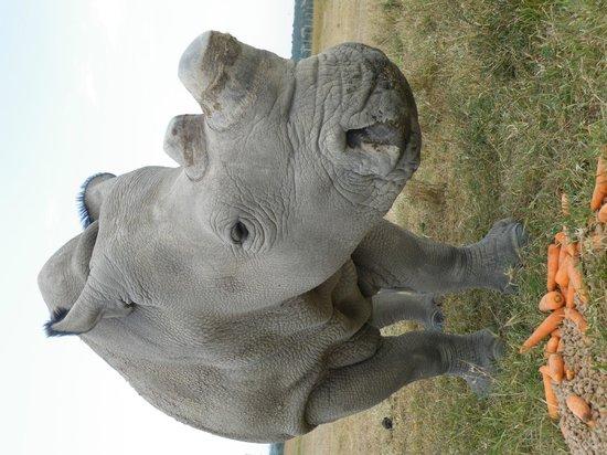 Porini Rhino Camp : Rhino - Northern White