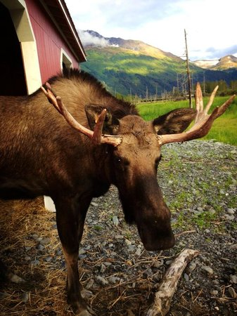 907 Tours: Anchorage - Day Tours: Alaska Wildlife Conservation Center - Nelson the Moose
