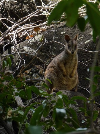 Undara Experience: Mareeba Rock Wallaby near entrance to cave