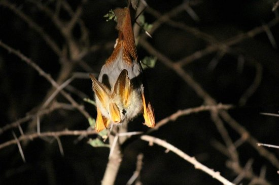 Manyara Ranch Conservancy: A bat viewed on our night game drive!