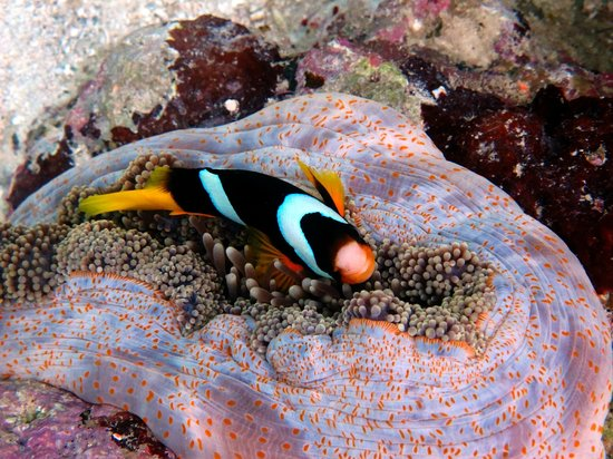 Ratua Island Resort & Spa : Clown fish at Ratua Island