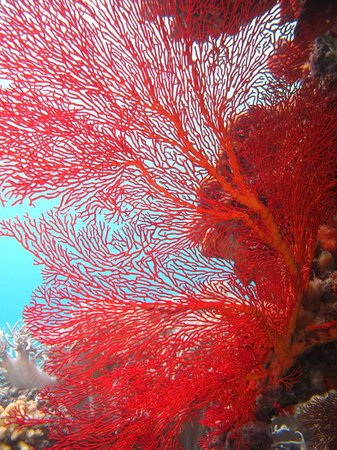 Ratua Island Resort & Spa : fan coral at Ratua Island