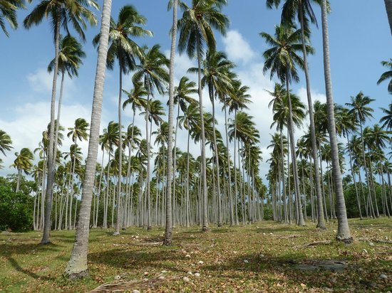 Ratua Private Island: Coconut plantation at Ratua Island