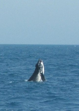 Whalesong Cruises: Frisky calf