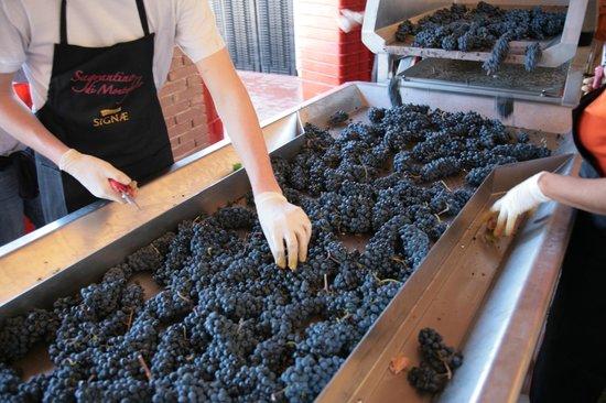 Gualdo Cattaneo, Italia: Selezione manuale dei grappoli