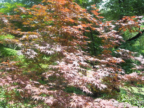 Orto Botanico di Roma: orto botanico - acero giapponese 2