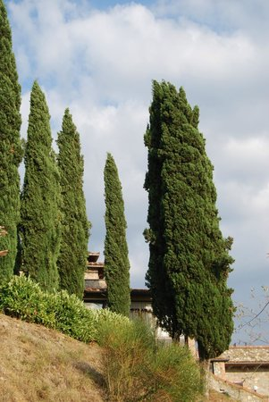 La Loggia - Villa Gloria: Cypresses .....