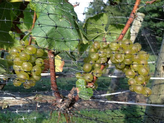Chamard Vineyards: Grapes on the Vine
