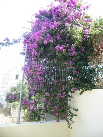 Matheos Apartments: This grows up the fence at the end of the terrace outside our room
