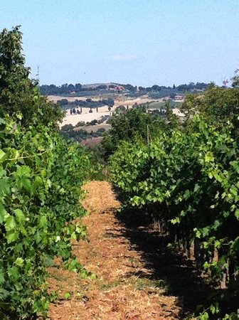 Agriturismo La Bruciata: Vineyards on the property